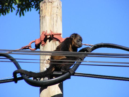 Papagayo Village: Howler Monkey
