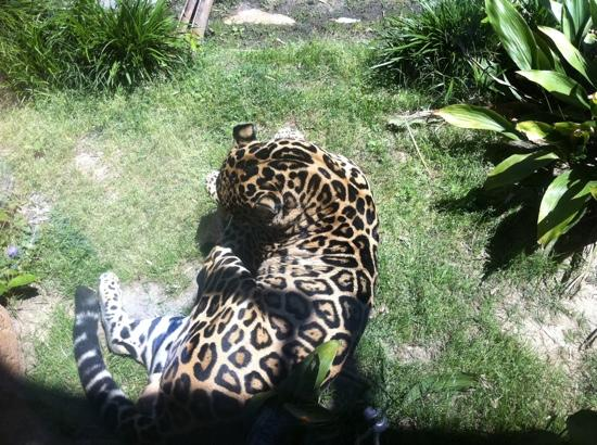 Hattiesburg, MS: Panther onca - Jaguar