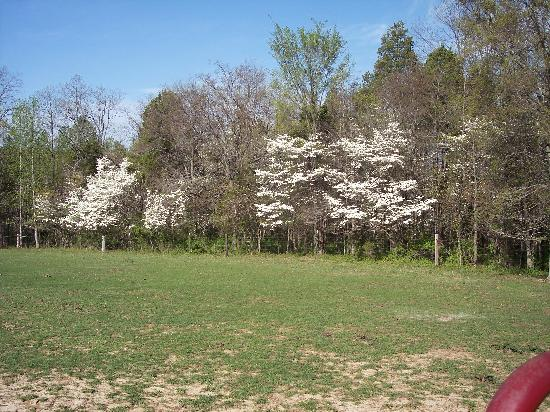 Rim Rock's Dogwood Cabins: The dogwoods in full bloom