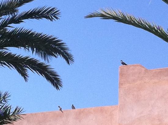 Pigeons au Tikida Golf Palace