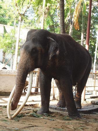 Temple bouddhiste de Gangaramaya : Temple Elephant