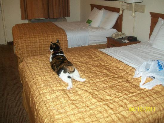 La Quinta Inn San Antonio I-35 N at Rittiman Rd: Cat on the bed. :) She felt right at home!