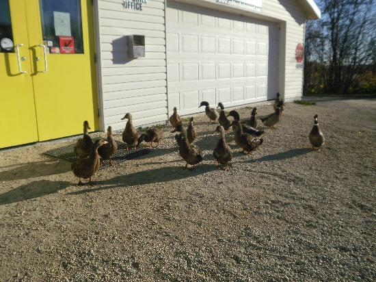 Rubber Ducky Resort and Campground: Ducks checking out the rec center