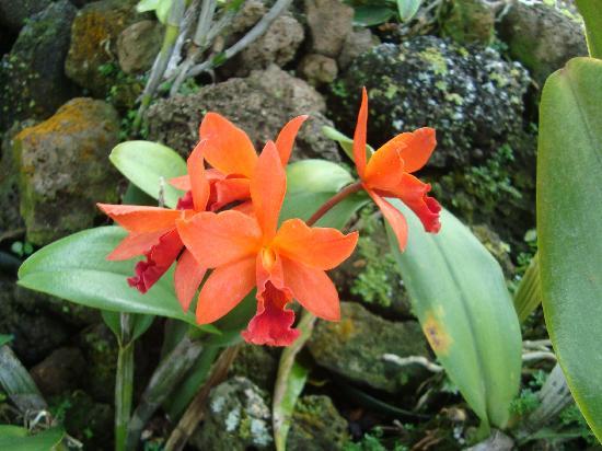 Koloa Heritage Trail : Orchids--Moir Gardens