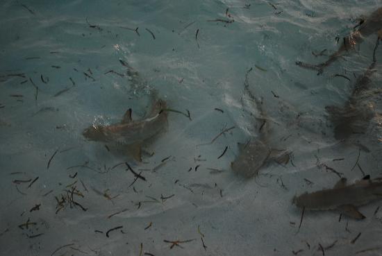 Four Seasons Resort Maldives at Kuda Huraa: Shark feeding from the Reef Club Restaurant at the hotel