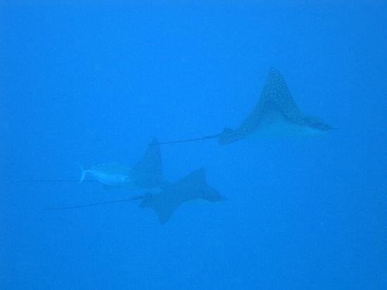 Four Seasons Resort Maldives at Kuda Huraa: Eagle-rays from our diving trip