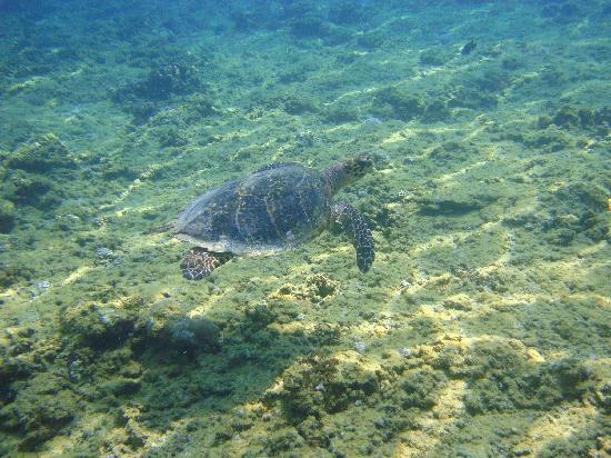 Four Seasons Resort Maldives at Kuda Huraa: Turtle from our turtle safari