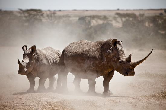 Laikipia County, Kenia: Rhino by Robin Moore