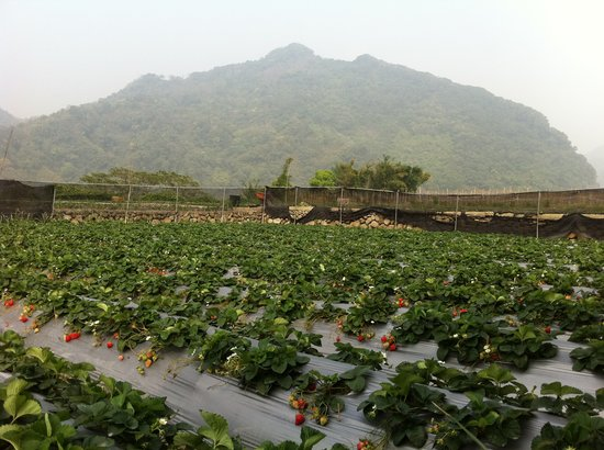 Strawberry fields among Miaoli's mountains