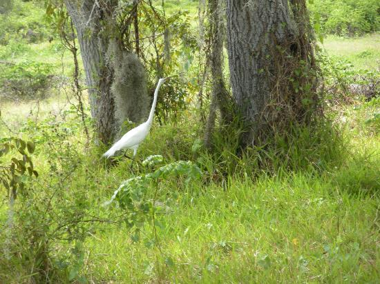 Tours in the Glades: A lovely sighting-maybe a Snowy Egret?