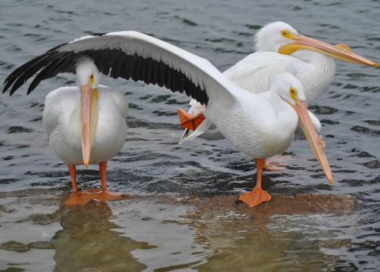 Galveston, TX: Who Doesn't Love White Pelicans?