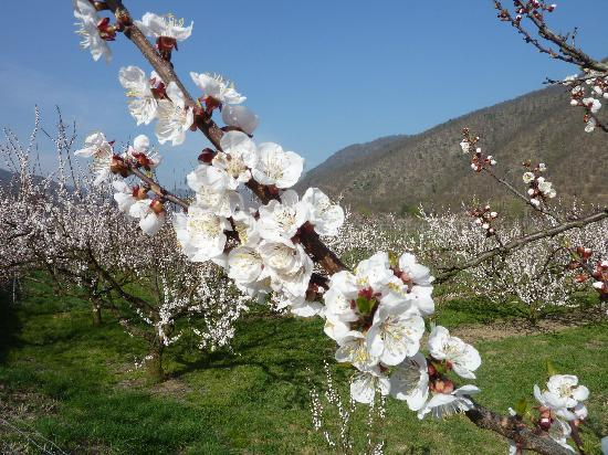 Baixa Áustria, Áustria: Marillenblüte Wachau