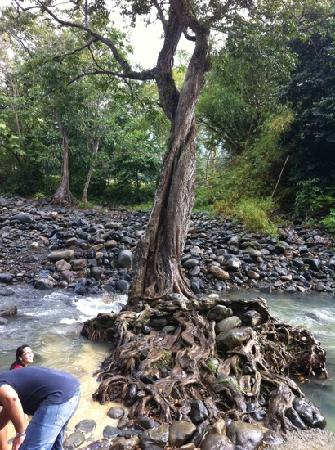 Luquillo, Puerto Rico: A tree in the middle of the river. The forbidden love tree.