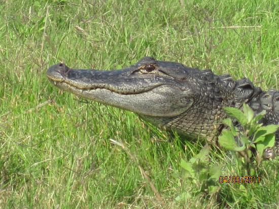 AirBoat Rides at Midway : Close up of one of many gators