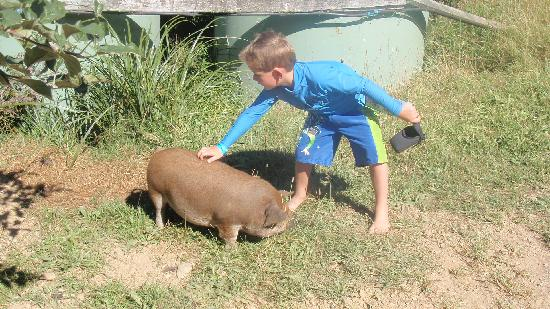 "Lochmara Lodge Marlborough Sounds Wildlife Recovery Centre : My nephew Dylan taming one of the ""wild"" kini kuni pigs>"