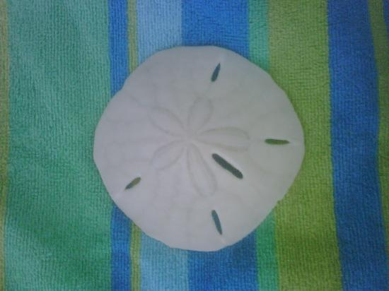 ‪فيستاس أون ذا جولف باي ليبيرتيه: Sand dollar I foudn on the beach‬