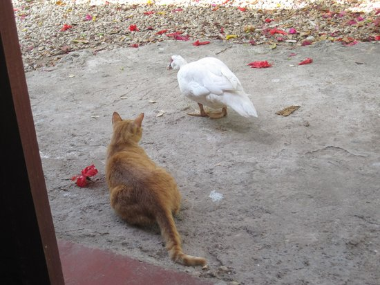 Calm Cabins Tulum: Resident duck and cat at Palapas Tulum