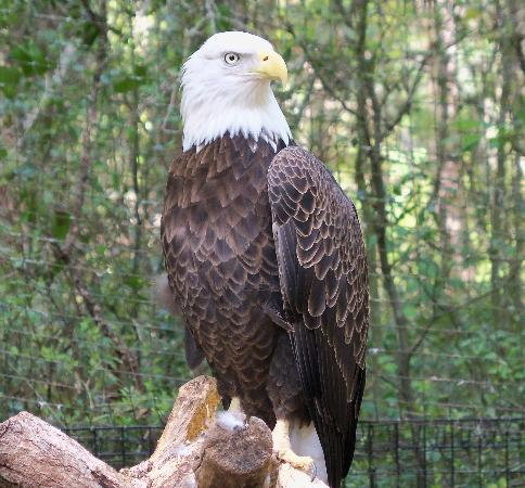Murrells Inlet, เซาท์แคโรไลนา: Bald Eagles at the Brookgreen Gardens Zoo