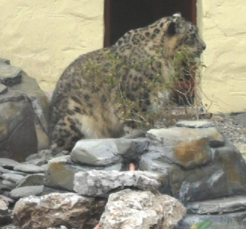 Capernwray House: Snow leopard at the wildlife park minutes away from here