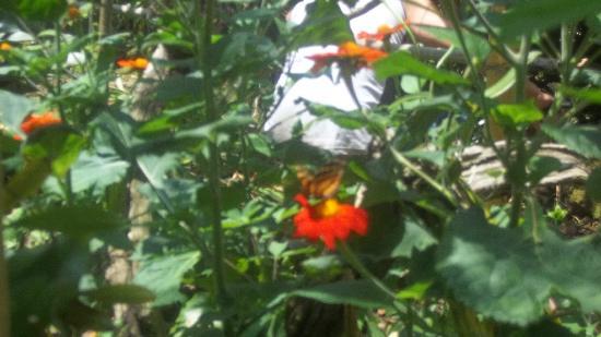 Spirogyra Butterfly Garden: Butterfly