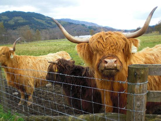 Hairy Coos Tours
