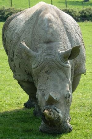 Longleat: rhino on the VIP safari tour