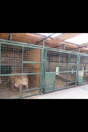 Longleat: VIP safari tour lion enclosure!!!!