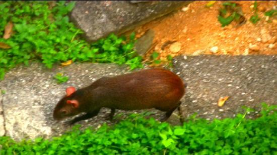 Asa Wright Nature Centre: An agouti below the veranda at Asa Wright Nature Center
