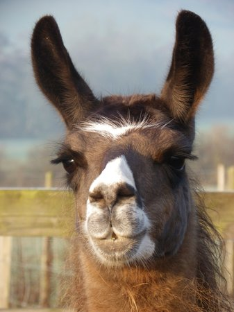 Hereford, UK : Llama Long Meg is one of the breeding female llamas at Golden Valley Llamas