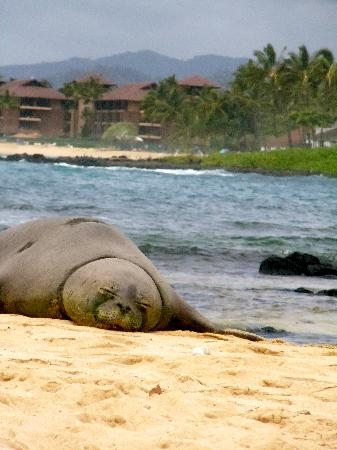 Marriott's Waiohai Beach Club : saw seals on beach in front of hotel daily