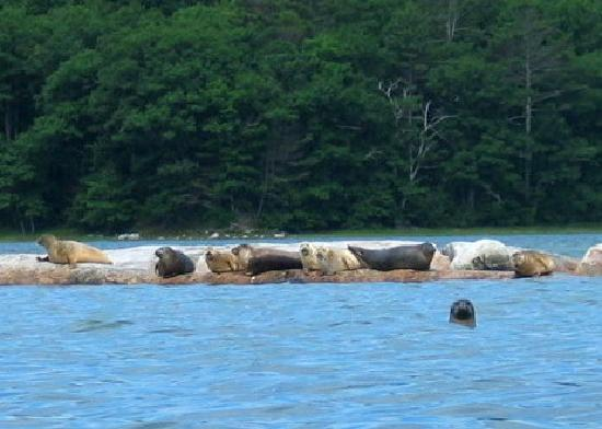 Inn at Round Pond: Seals on Muscongus Bay