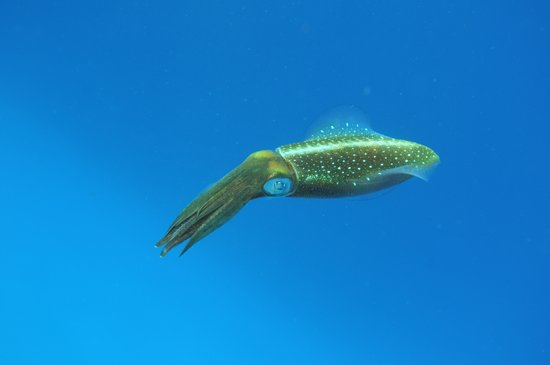 Wall to Wall Diving: Caribbean Reef Squid on Kittiwake