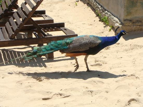 Sandals Royal Plantation: Peacock down on the beach