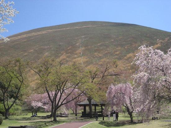 Ito, Japan: 大室山を背景に咲く櫻