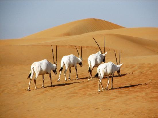 Al Maha, A Luxury Collection Desert Resort & Spa: Oryx on wildlife drive