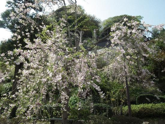 建長寺桜の写真その2
