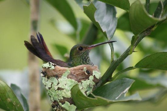 Bluff Beach Retreat: Mama hummingbird in one of our Orange trees