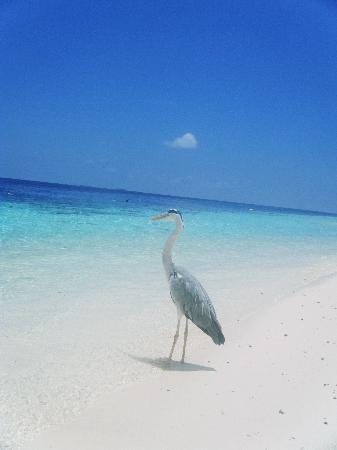 Vilamendhoo Island Resort & Spa: Friendly Heron
