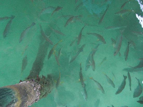 Isla Solarte, Panama: Feeding the fish