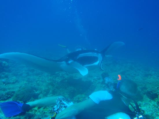 Vilamendhoo Island Resort & Spa: Manta Ray