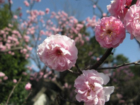 Ota, Japan: いろいろな種類の梅が咲いています。