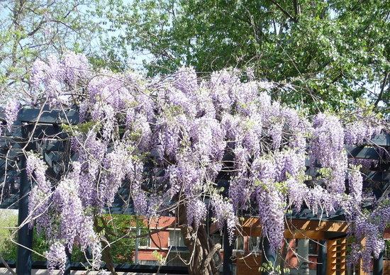Nanguan Park: Wisteria in bloom