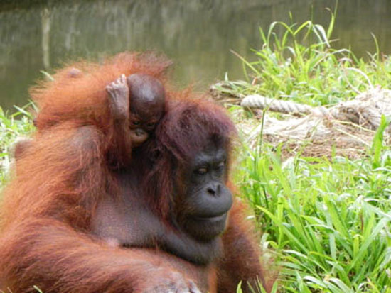 Penampang, Μαλαισία: Orang utan is one of the indigenous species in borneo.