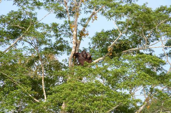Barefoot Sukau Lodge: Orangutan on tree