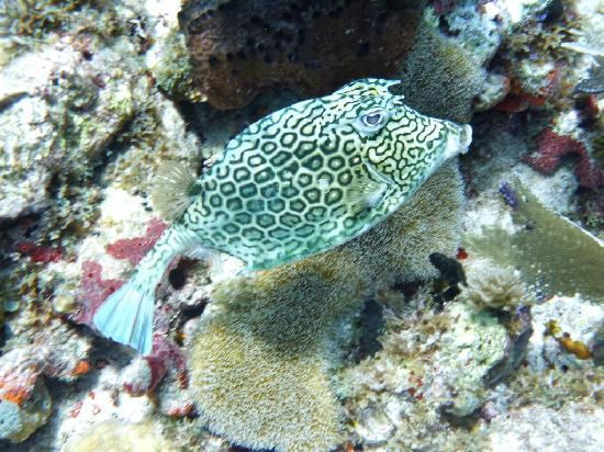 Scuba Zen: Trunk fish
