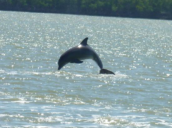 Everglades Day Safari: Dolphin jumped as we watched from our pontoon boat