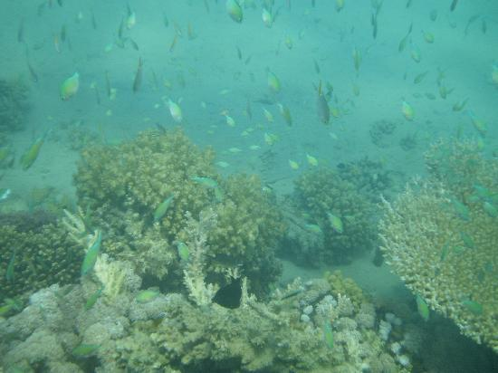 Imperial Shams Abu Soma Resort : corals & fish by hotel