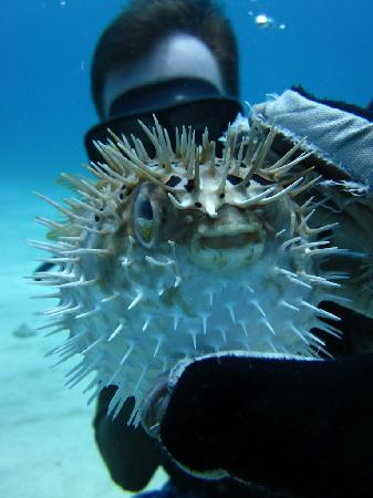 Couples Tower Isle: Puffer fish