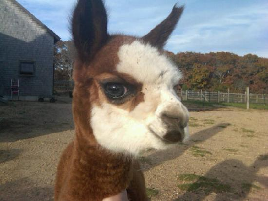 Menemsha Inn and Cottages: our friendly Alpacas