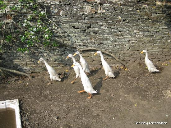 Boscastle, UK: The ducks